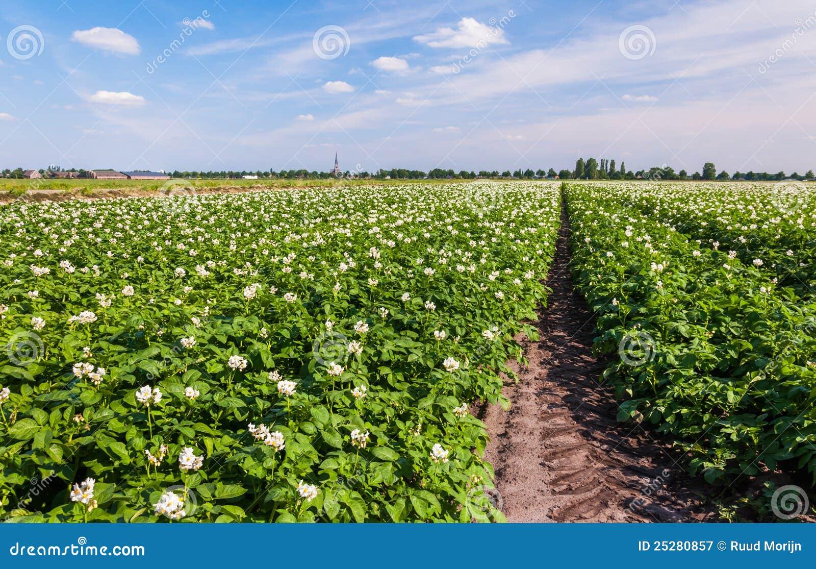 plantes de pomme de terre avec les fleurs blanches et jaunes image stock image 25280857. Black Bedroom Furniture Sets. Home Design Ideas