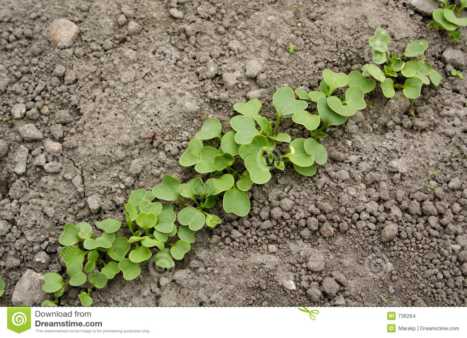 Plantes de radis dans la ligne images stock image 736264 for Ligne de plantes