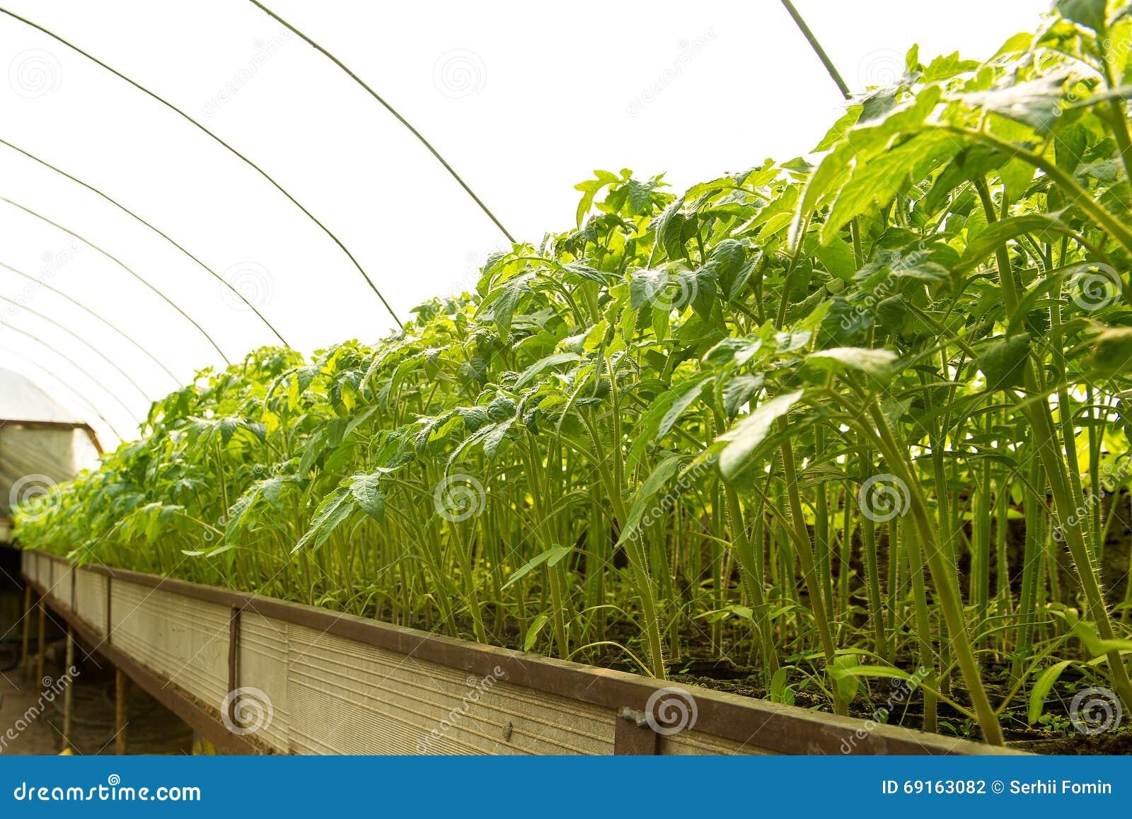 Plantes De Tomate Et Plantes De Concombre En Serres Chaudes ...