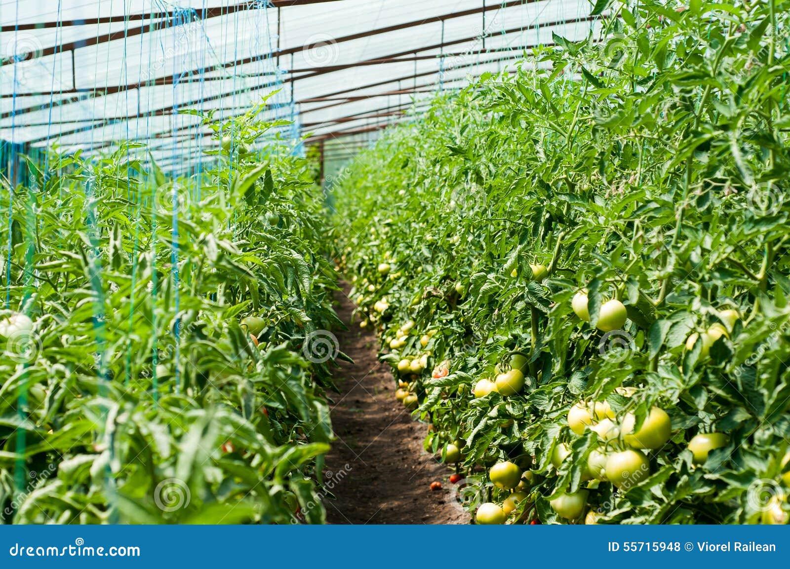 Plantes De Tomate S\'élevant à L\'intérieur D\'une Serre Chaude Photo ...