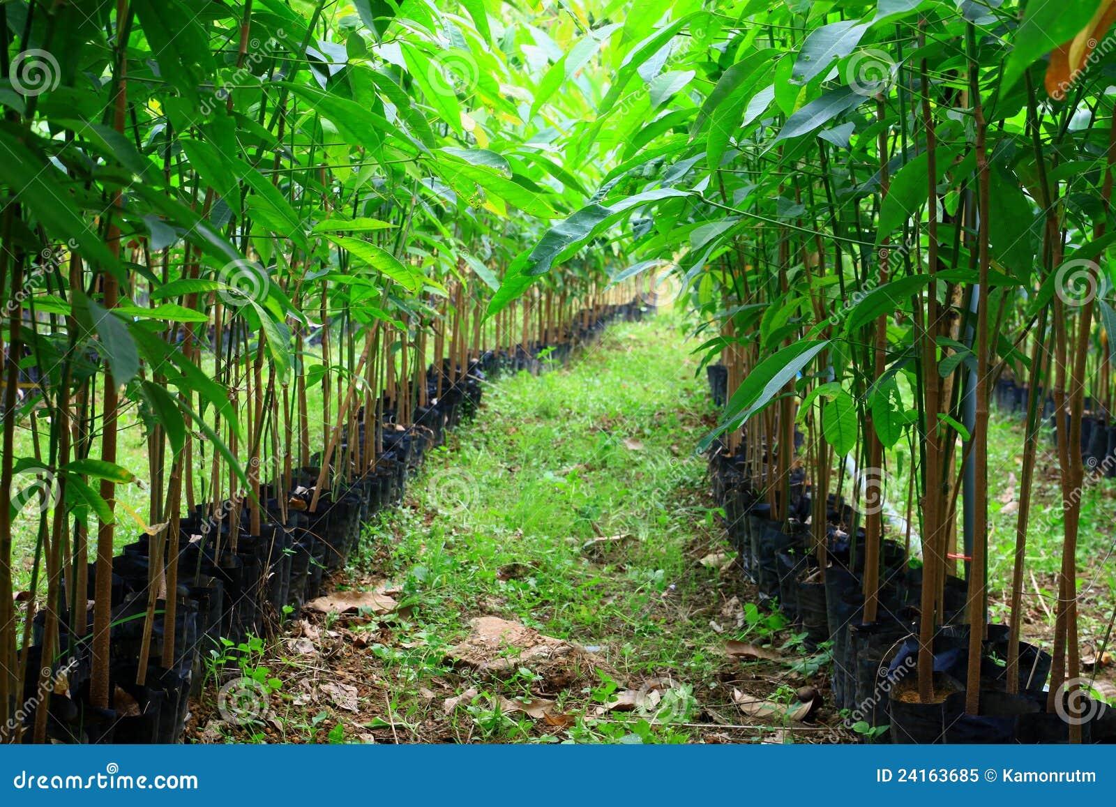 Plantes des arbres en caoutchouc sur une plantation image for Caoutchouc plante exterieur