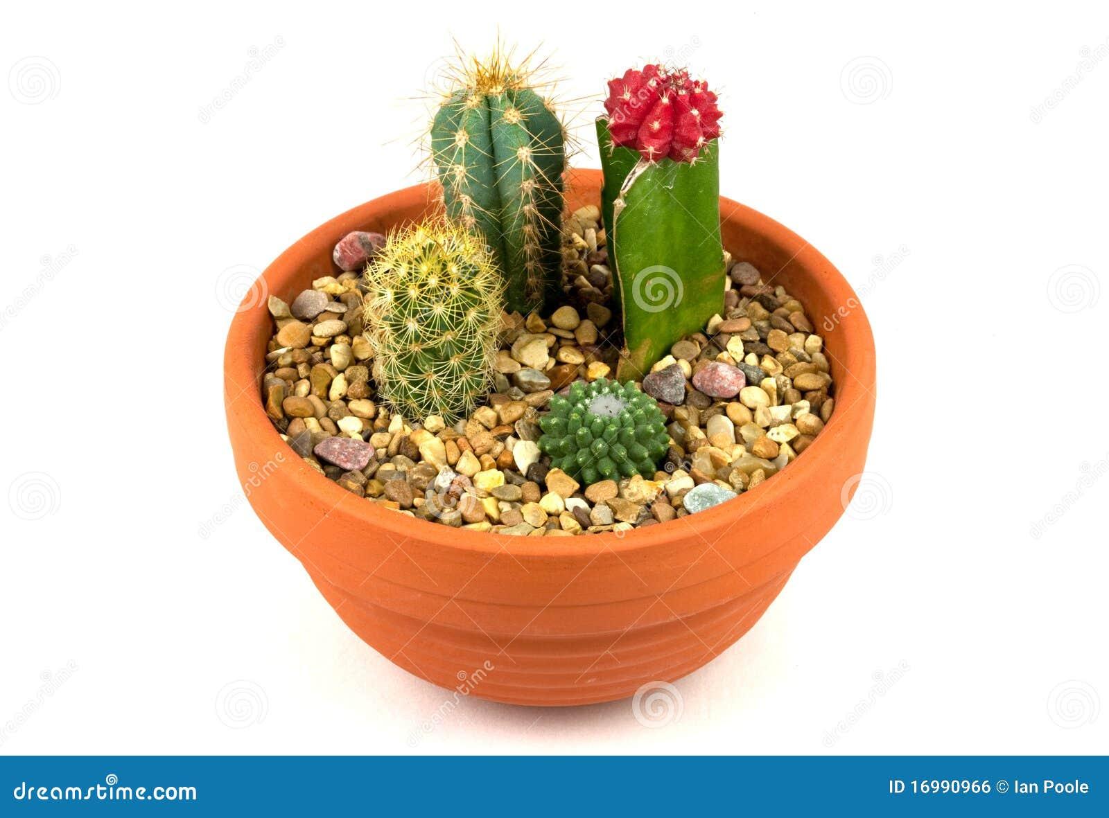 plantes en pot de cactus image libre de droits image. Black Bedroom Furniture Sets. Home Design Ideas
