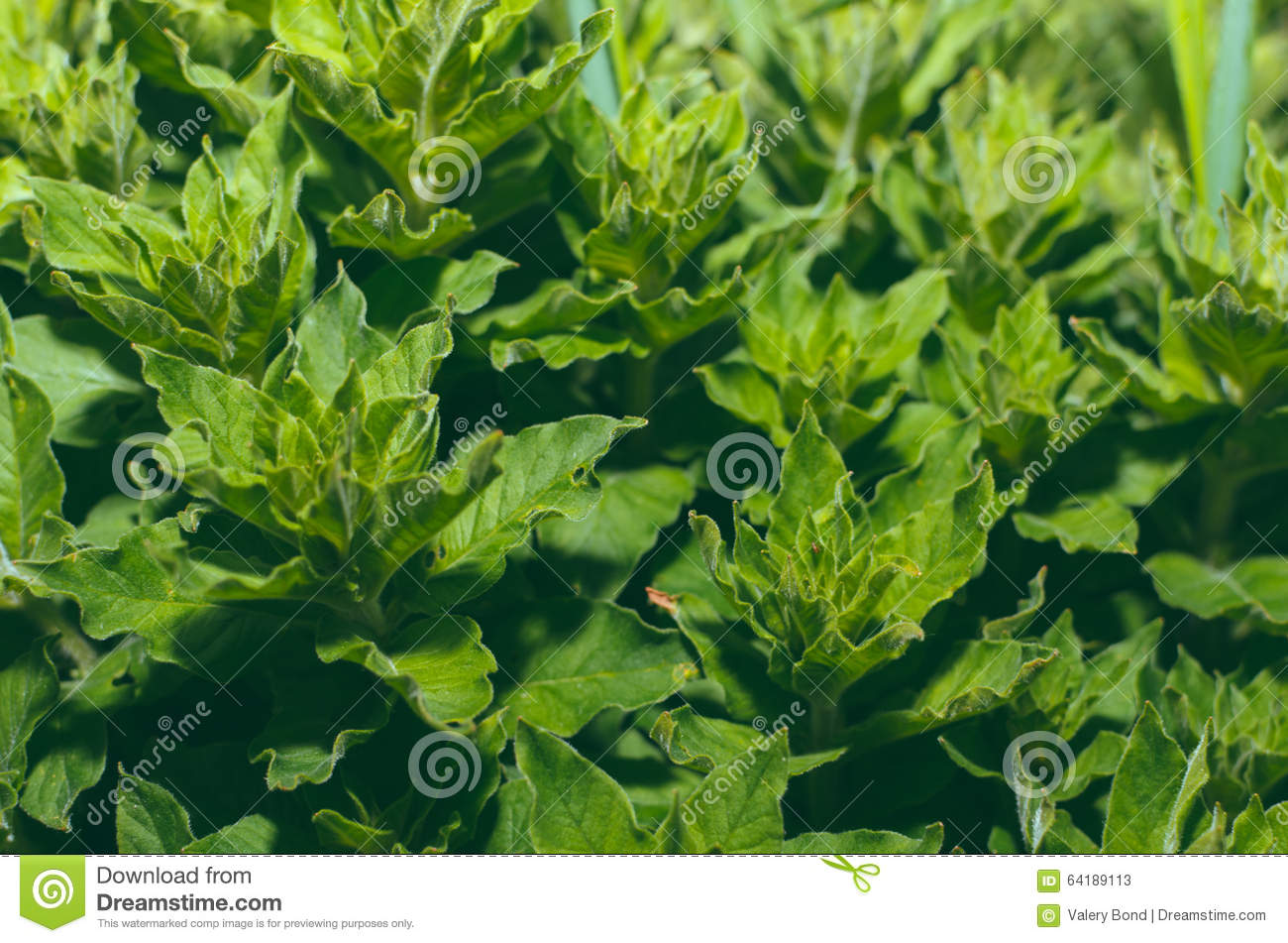 Plantes vertes dans le jardin photo stock image 64189113 for Plante verte jardin