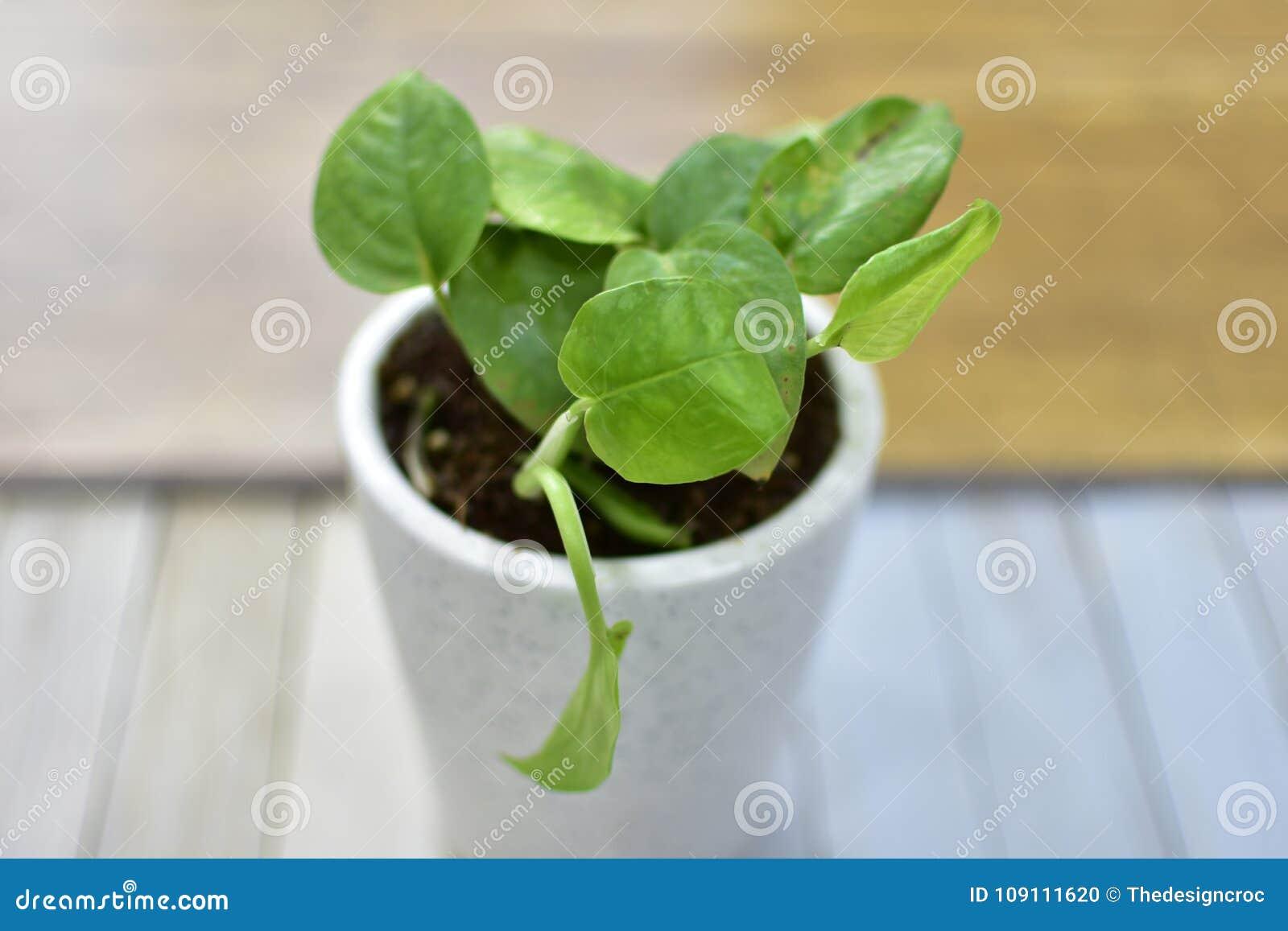 Plantez Le Fond En Bois De Pot De Lierre De Feuilles D\'intérieur De ...