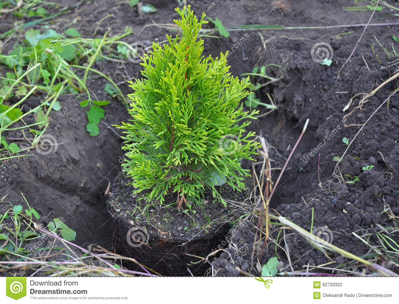 planting cypress thuja with roots thuja occidentalis golden brabant stock photo image 62733322. Black Bedroom Furniture Sets. Home Design Ideas