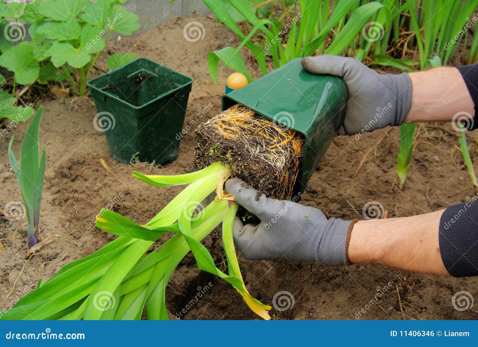 Planting a daylily