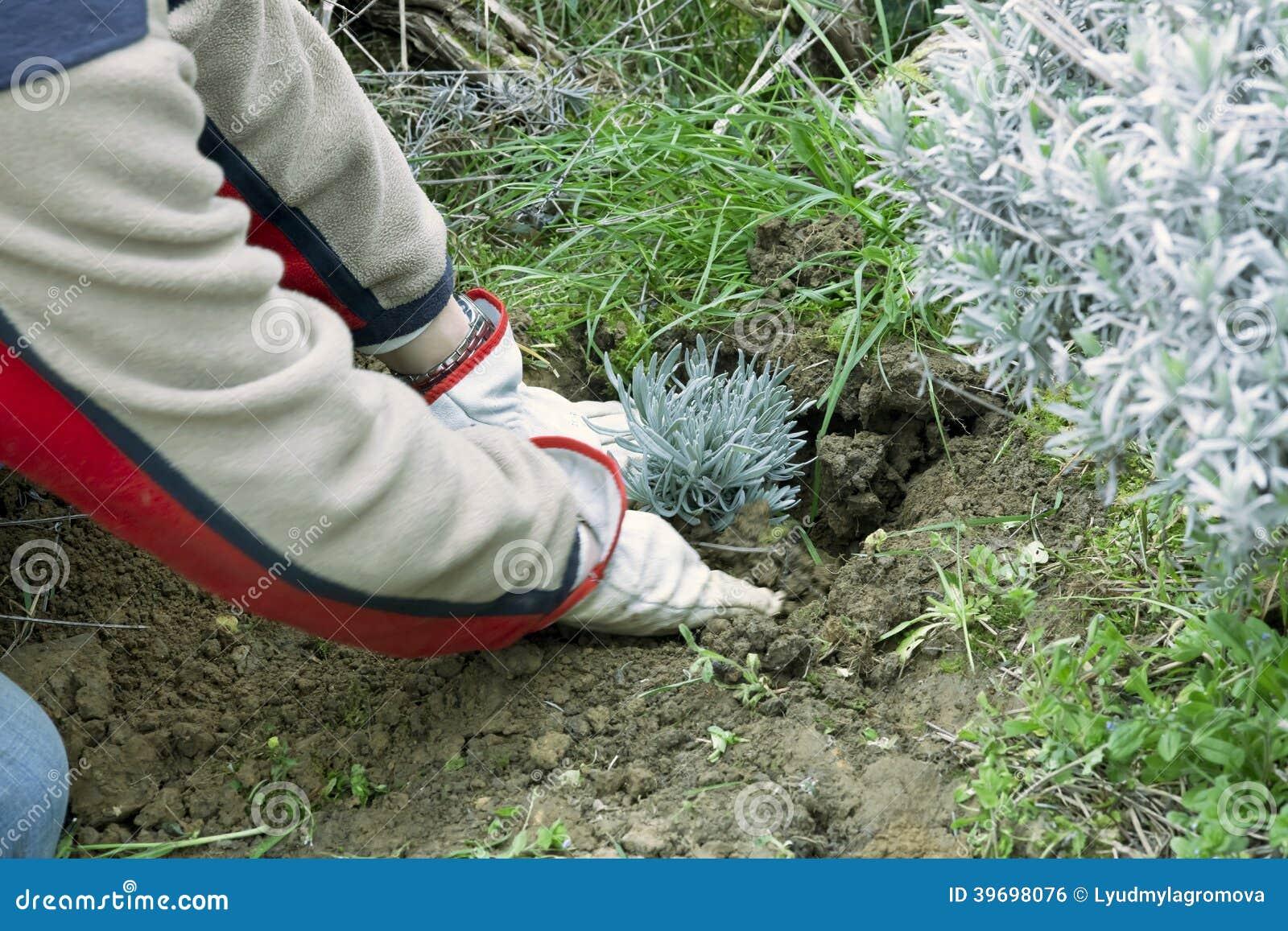Planting a lavender plant