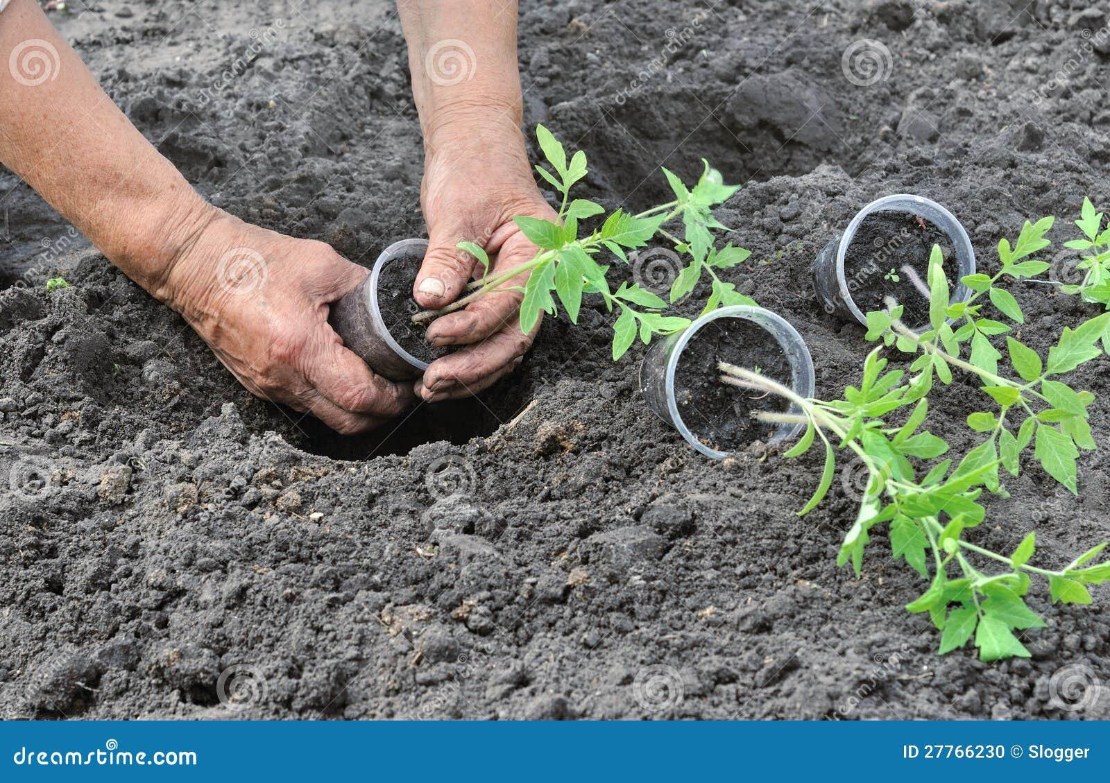 Когда сажать рассаду помидор в 2018 году по лунному календарю