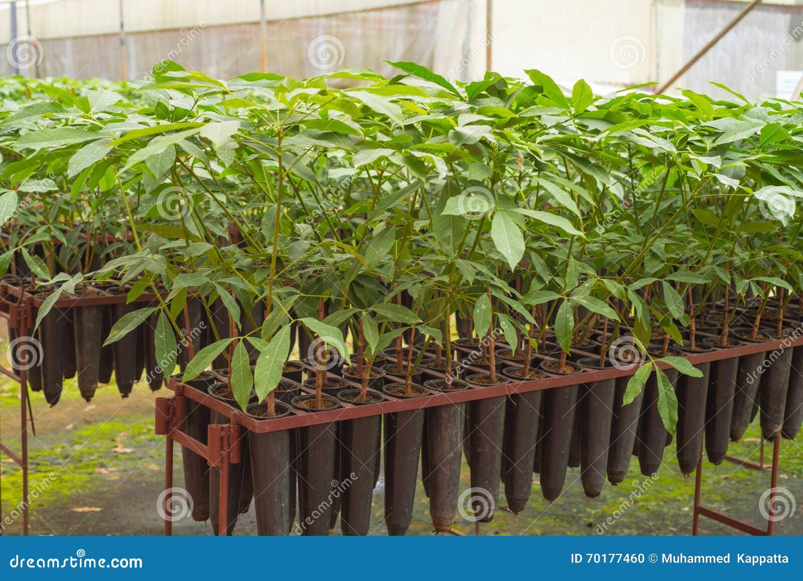 Plantor av gummiträd på en koloni i Wayanad, Kerala
