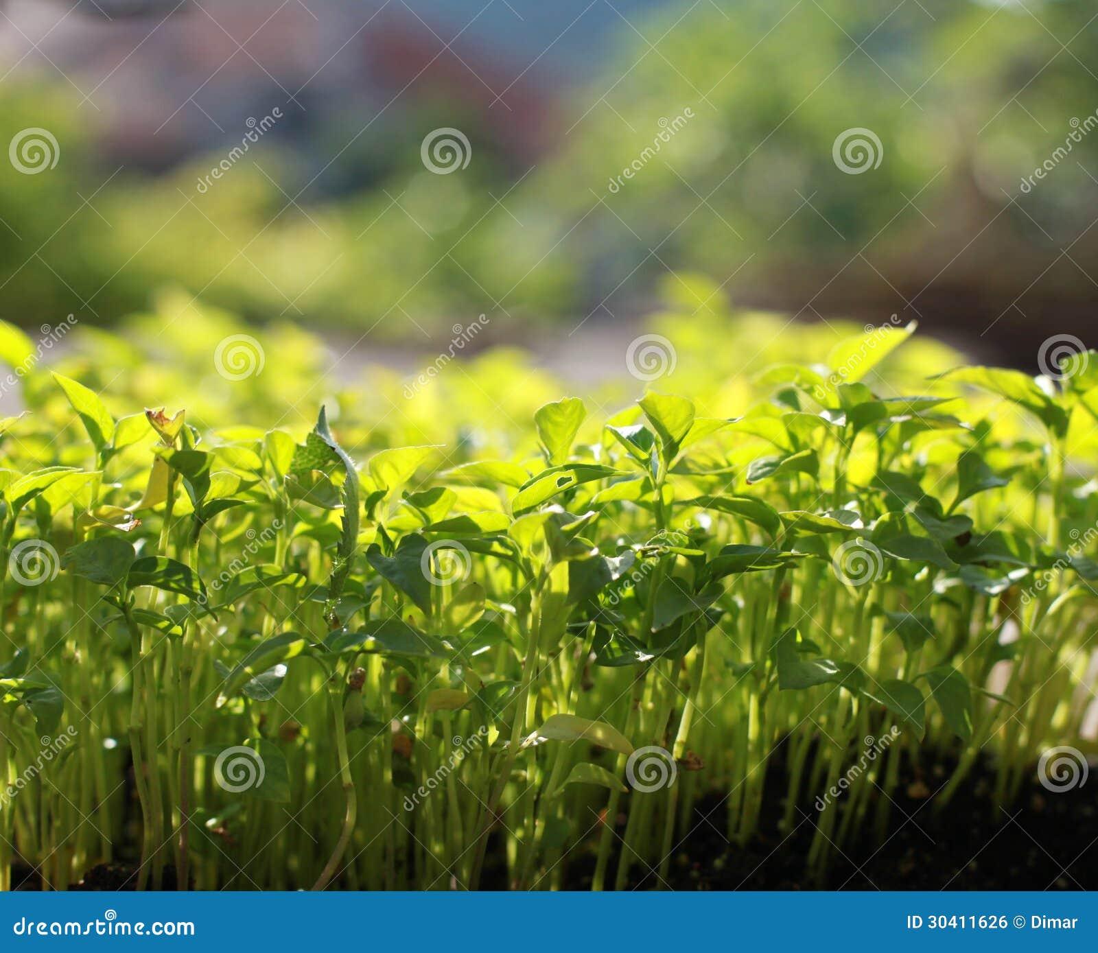 plants de pommes de terre plant s image libre de droits image 30411626. Black Bedroom Furniture Sets. Home Design Ideas