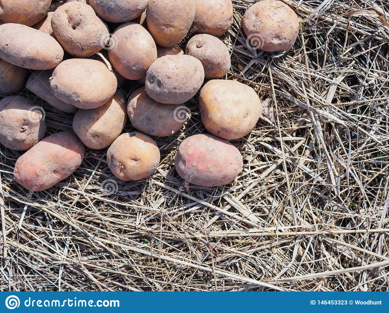 Plants de pommes de terre de ressort sur l herbe s?che Peut utiliser comme fond