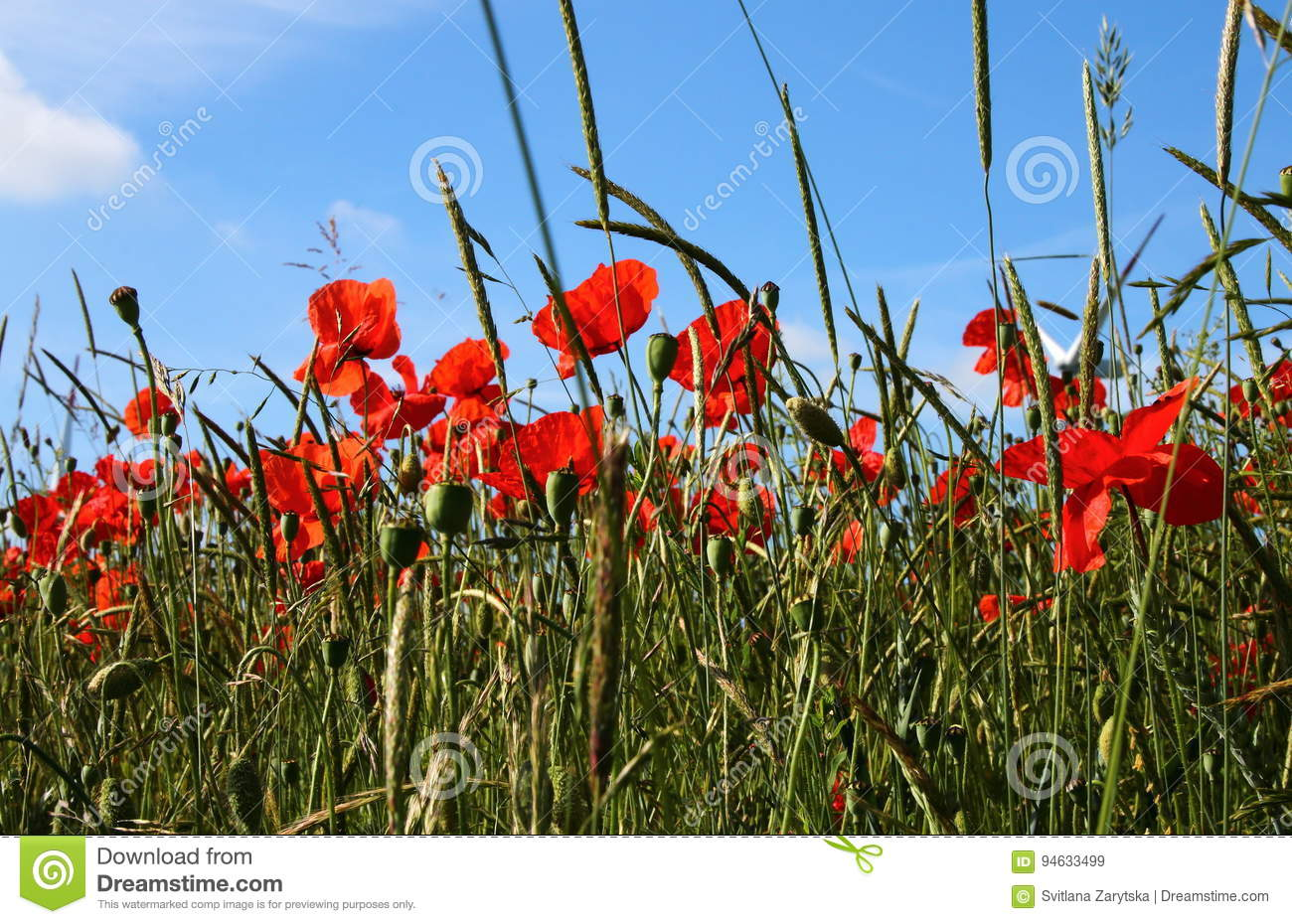 Plants And Flowers Stock Image Image Of Poppies Daisies 94633499
