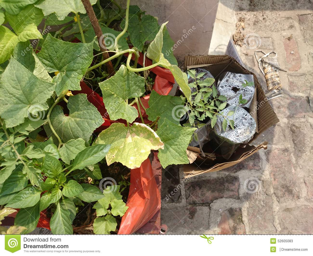 Plants For Kitchen Garden Plants In Kitchen Garden Stock Photo Image 52605083