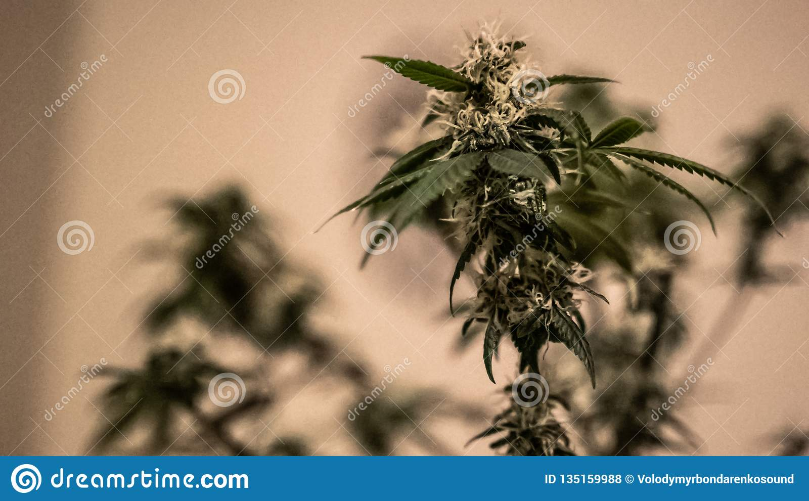 Medical Marijuana plants. Cannabis. Sativa