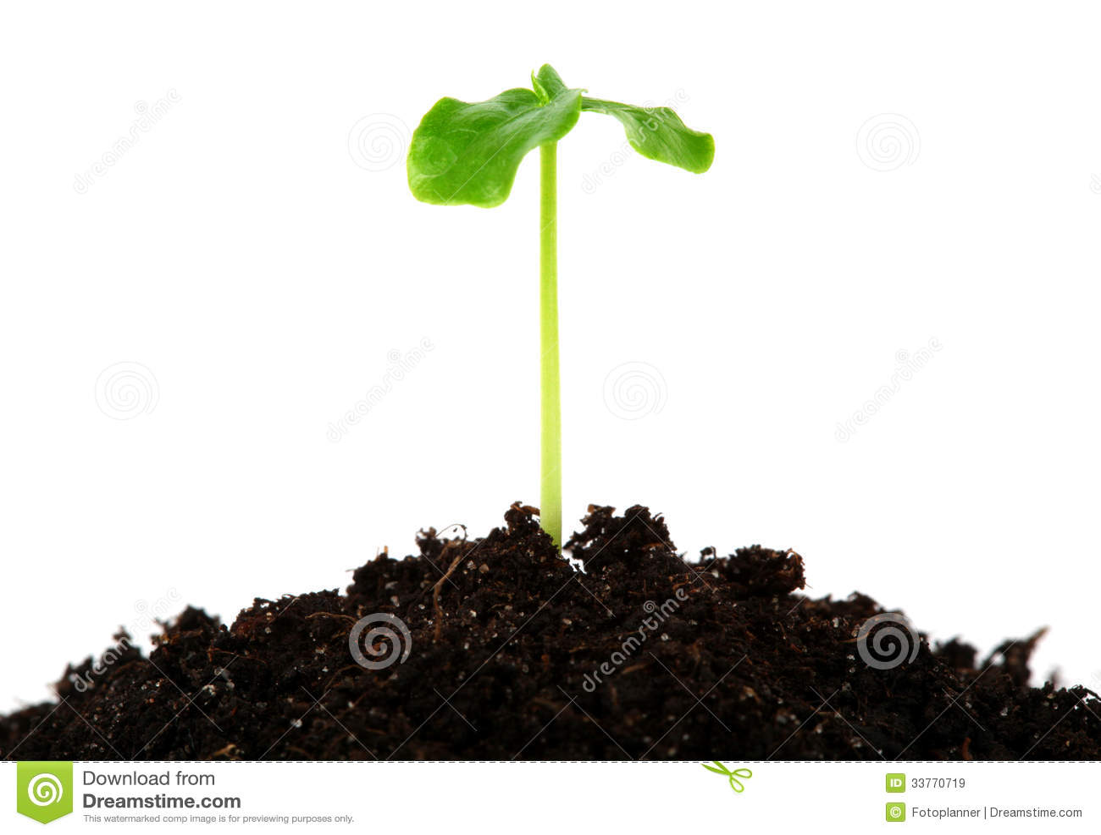 Plantula