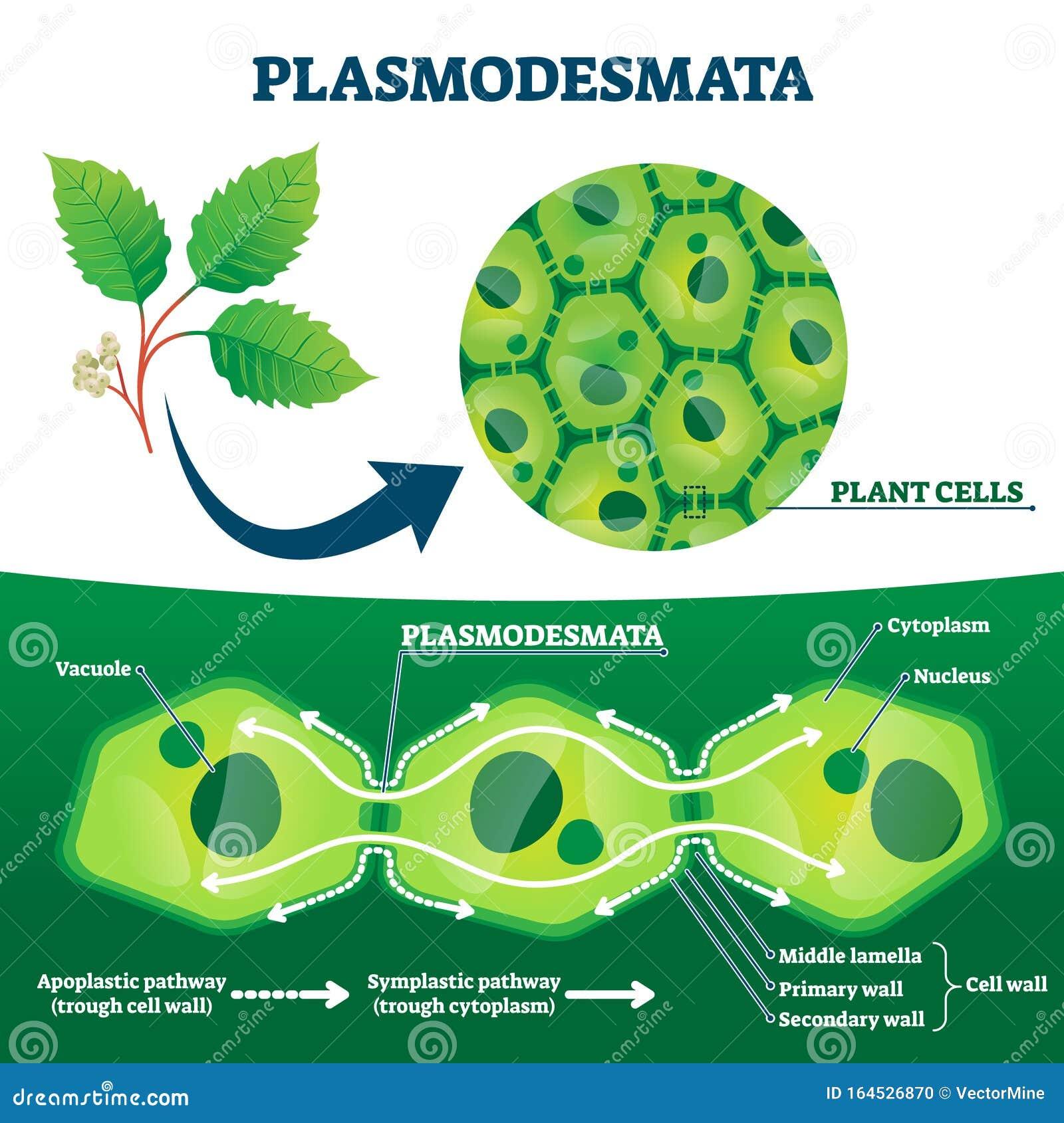Plasmodesmata Plant Cells Diagram, Vector Illustration ...