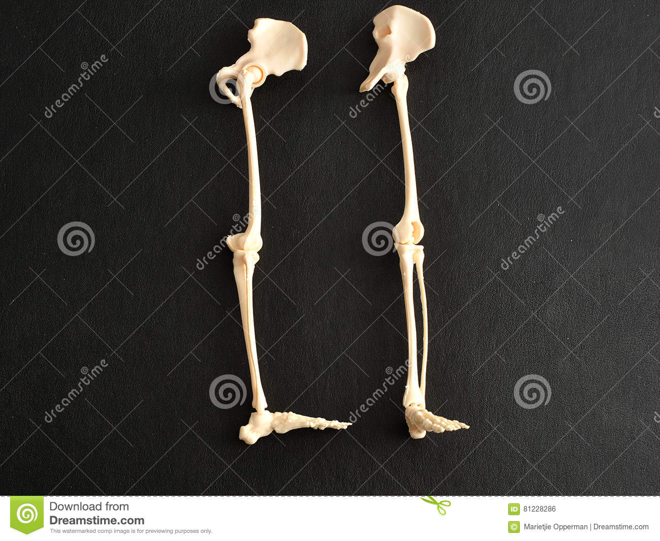 A Plastic Model Of A Human Skeleton Legs Stock Photo Image Of Body