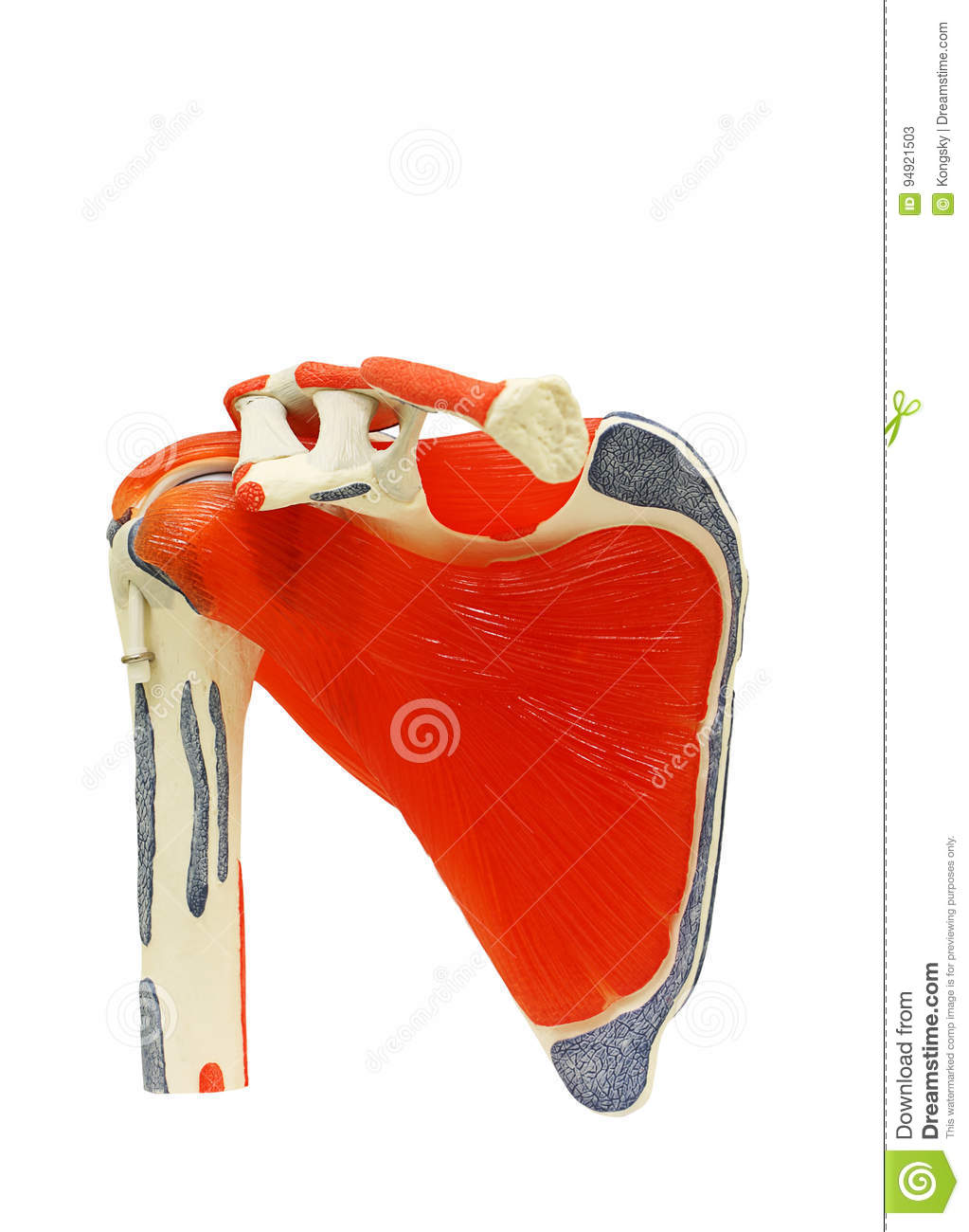 Shoulder anatomy joint isolated on white clipping path.
