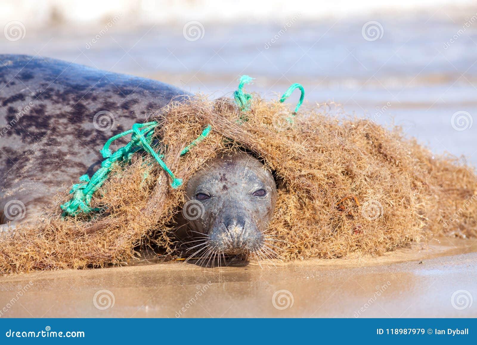 Plastikowy morski zanieczyszczenie Foka łapiąca w kołtuniastym nylonowym łowi n