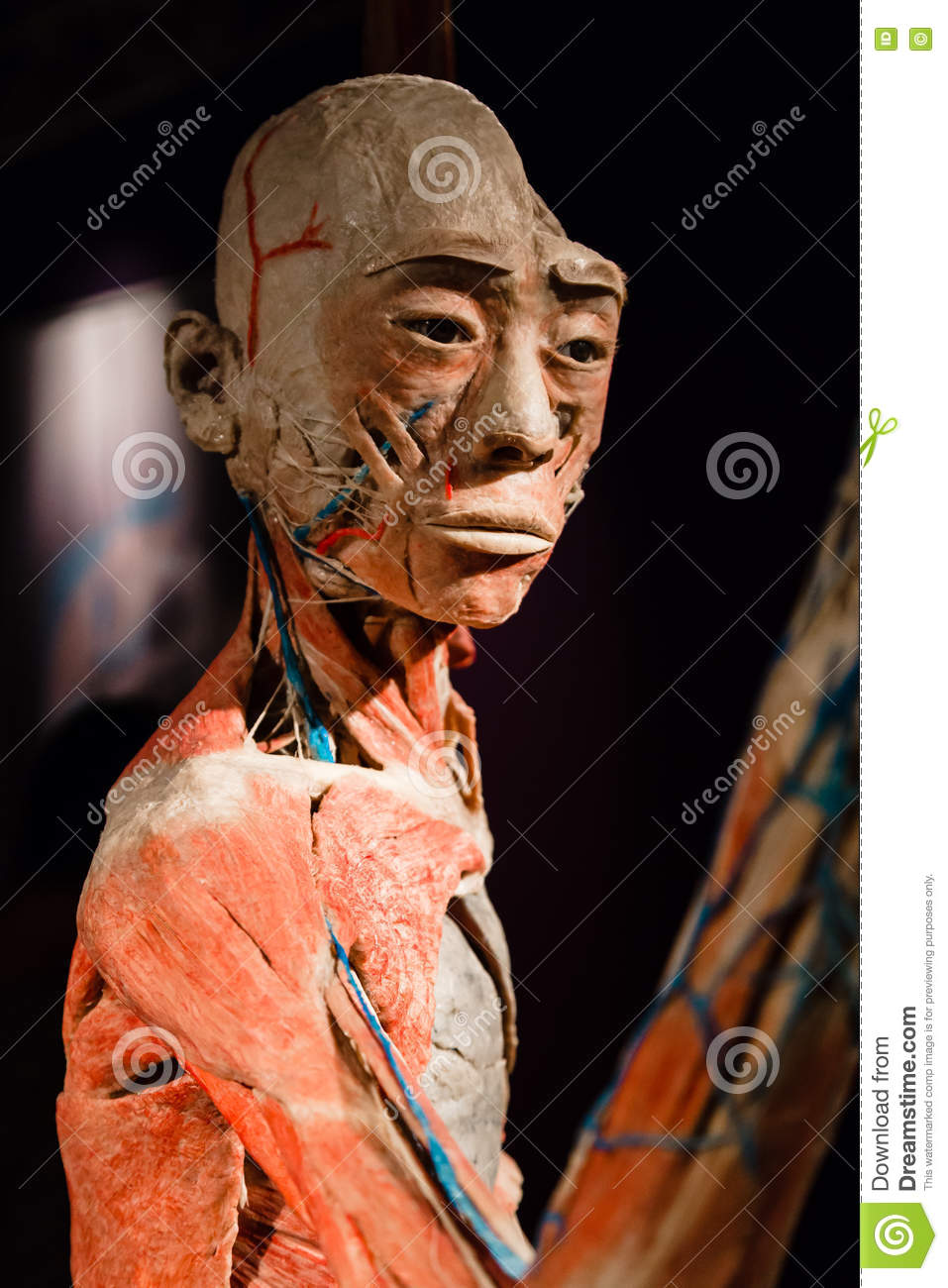 Plastinated Human Body On Display Editorial Photography Image Of