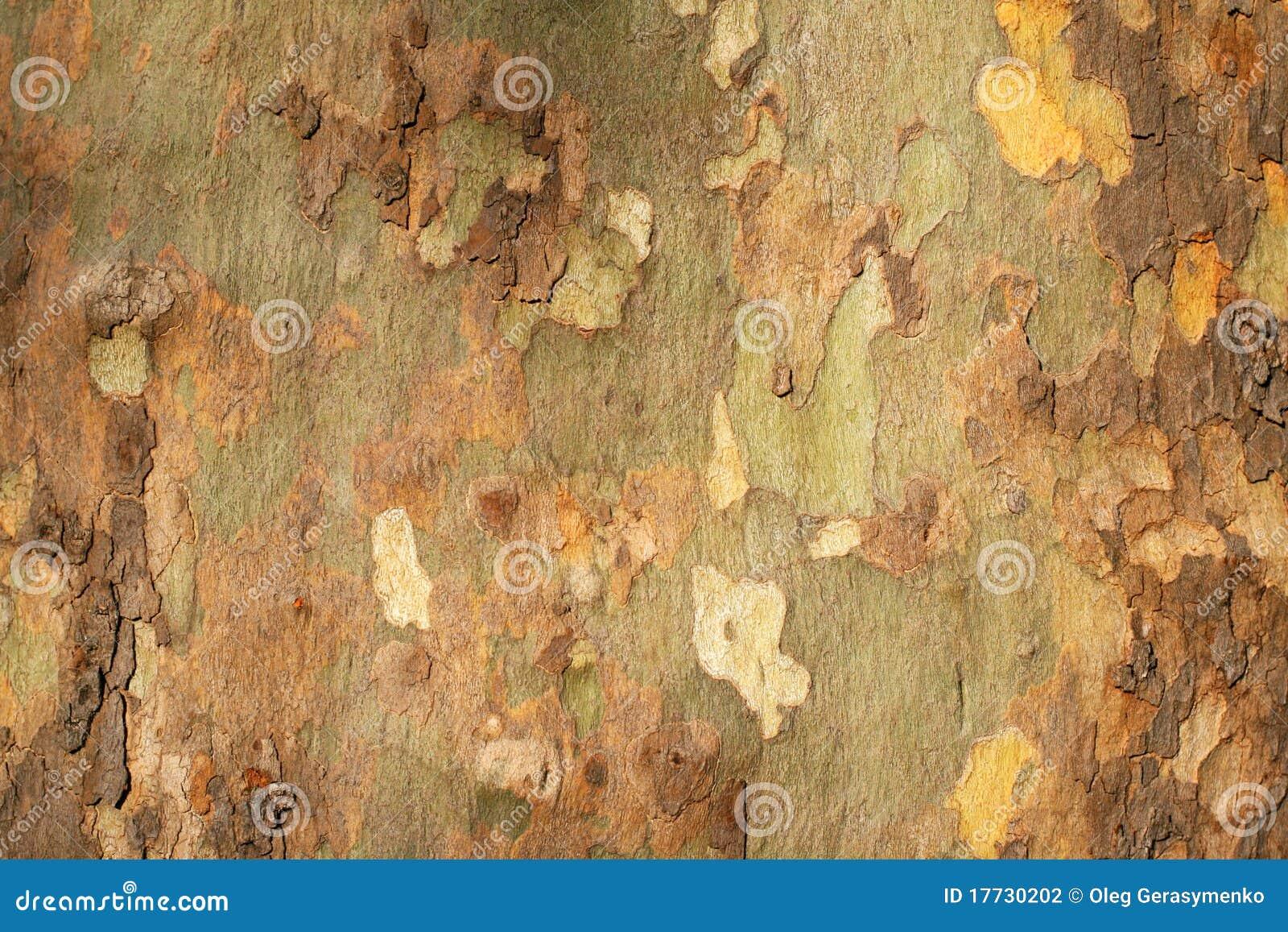 Platan tree bark texture