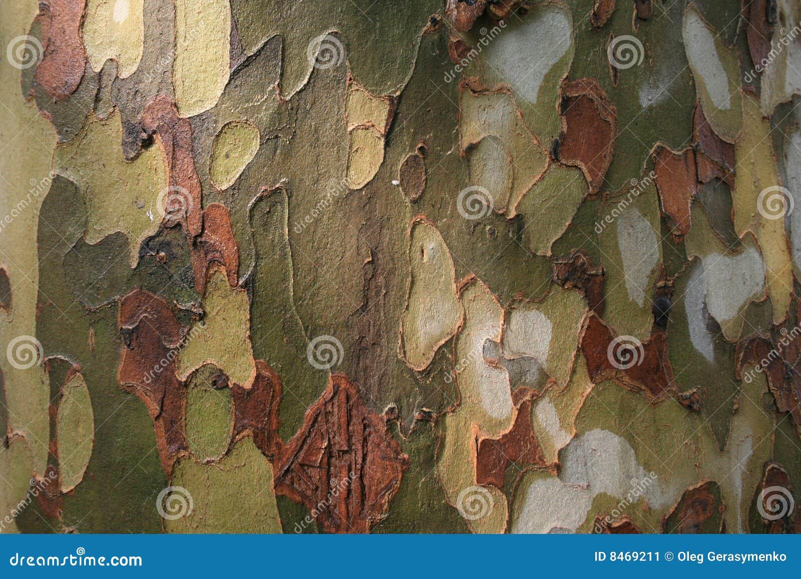 Platan tree för skäll