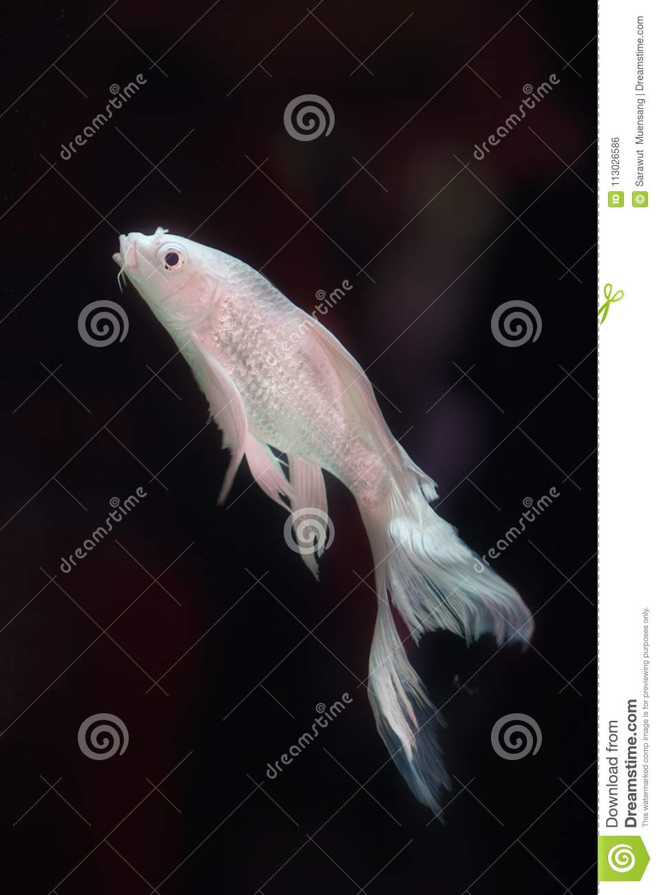 Platinum White Freshwater Angelfish `Pterophyllum scalare` Is the most common species of Pterophyllum kept in aquarium