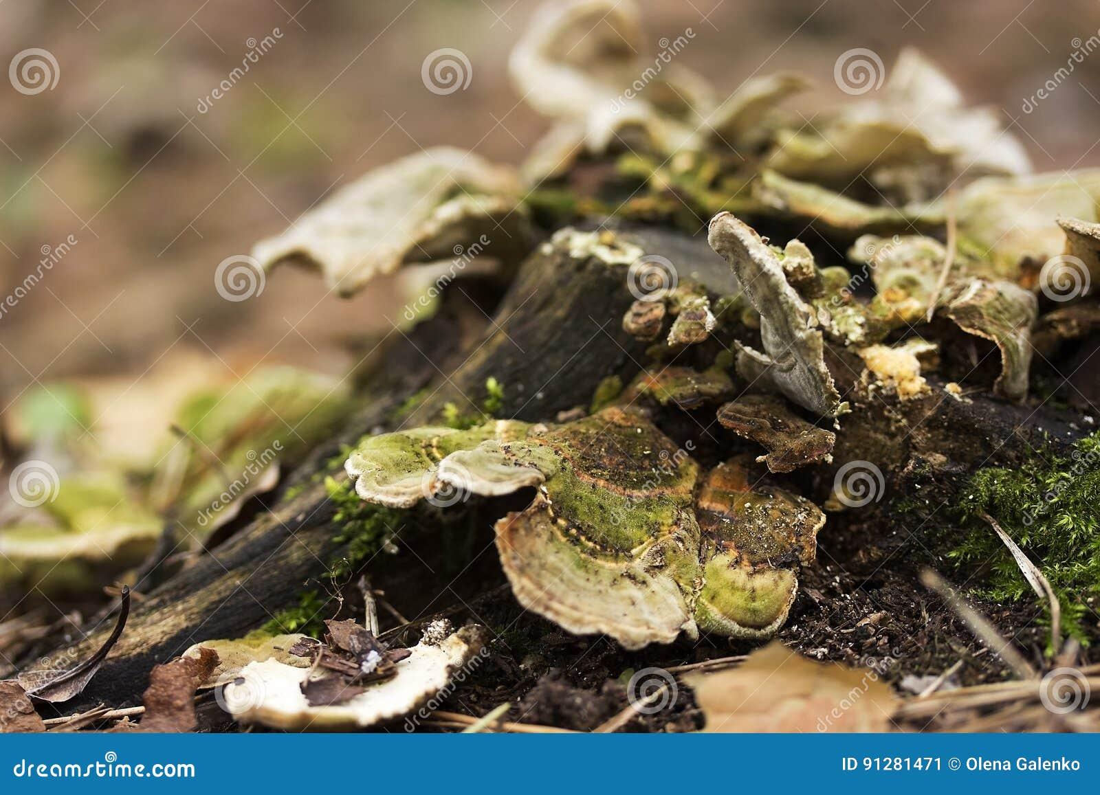 Plattan plocka svamp på en trädstubbe Champinjonmatning på att förfalla, trä
