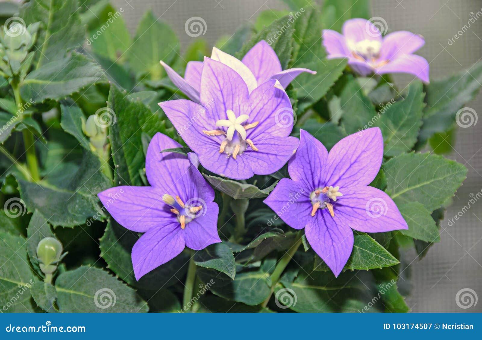 Platycodon Grandiflorus Astra Blue Balloon Flower With Buds Stock