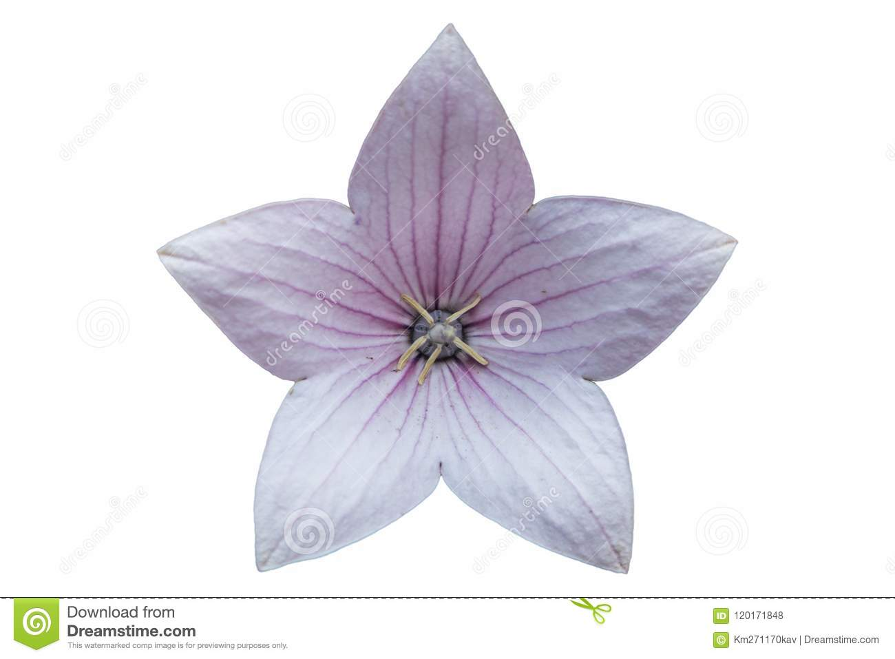 Platycodon Grandiflorus Pale Pink Flower Isolated On White Stock