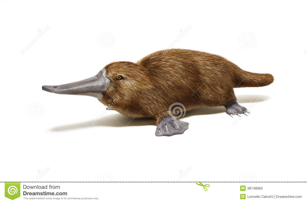 Platypus Duck-billed Animal. Royalty Free Stock Images - Image ...