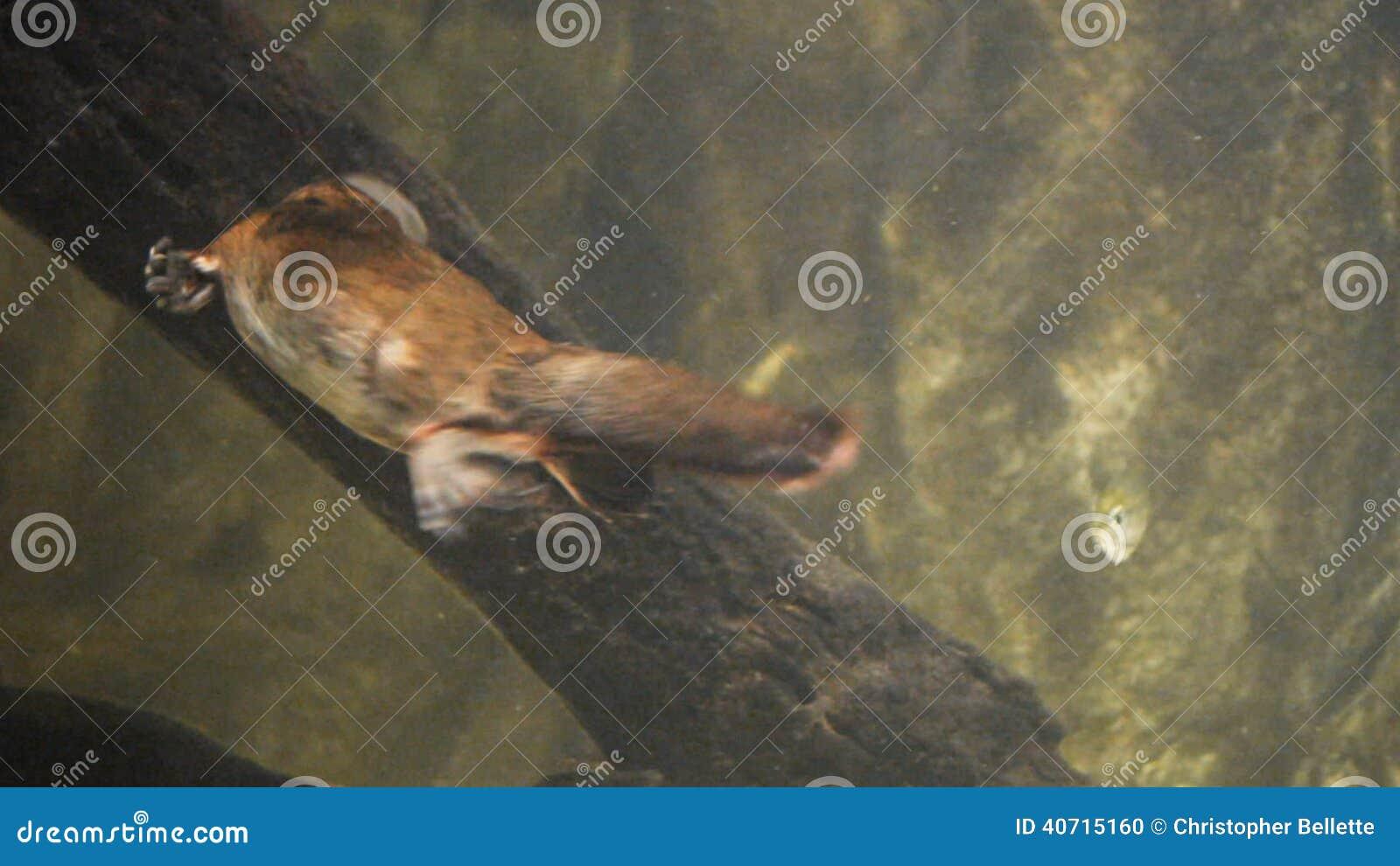 Platypus Injury