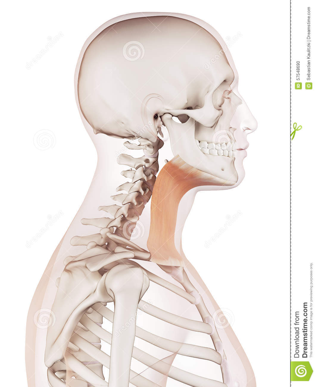 The Platysma Stock Illustration Illustration Of Neck 57548690