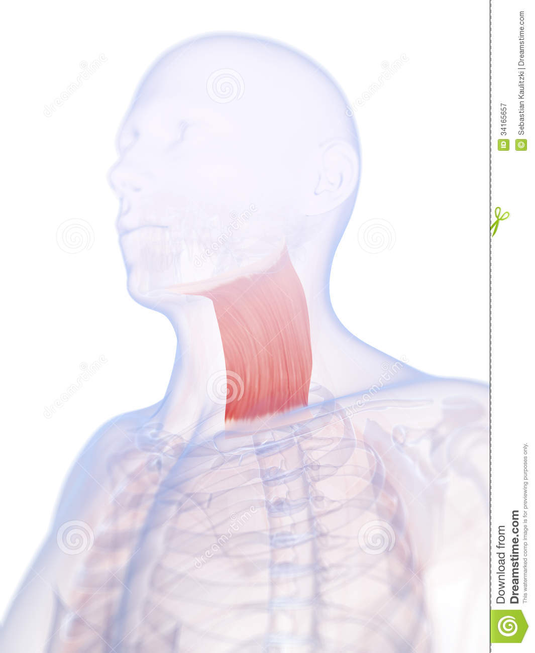 The Platysma Muscle Stock Illustration Illustration Of Platysma