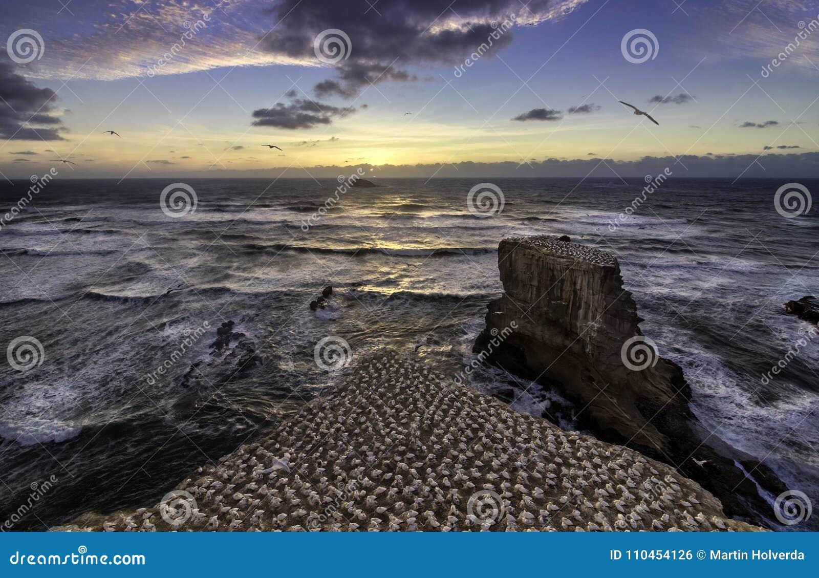 Playa de Muriwai de la colonia de Gannet cerca de Auckland