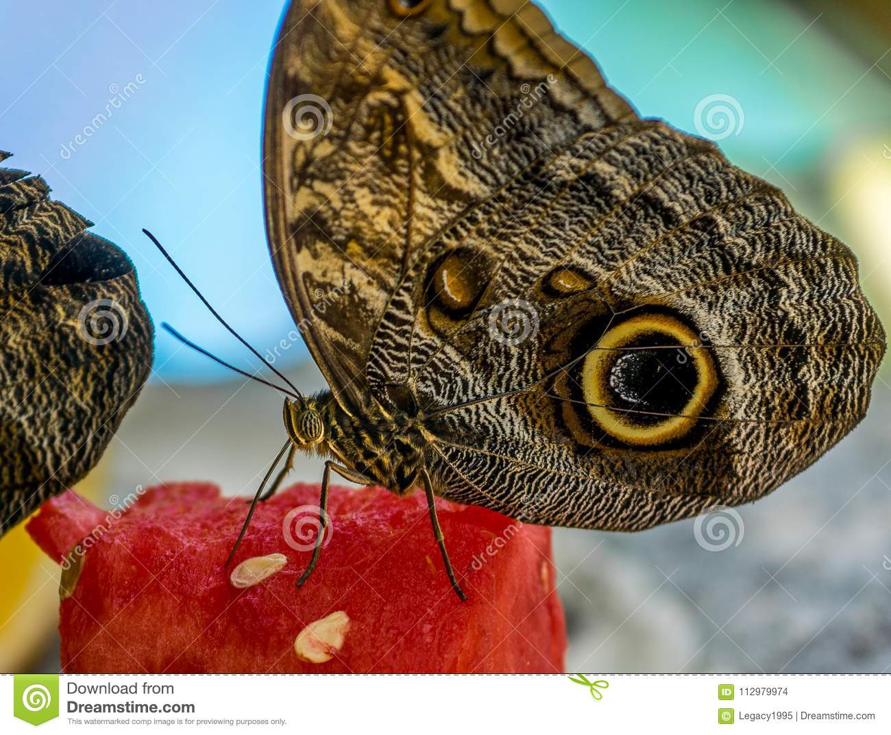 Tropical Butterfly Feasting Off Watermelon