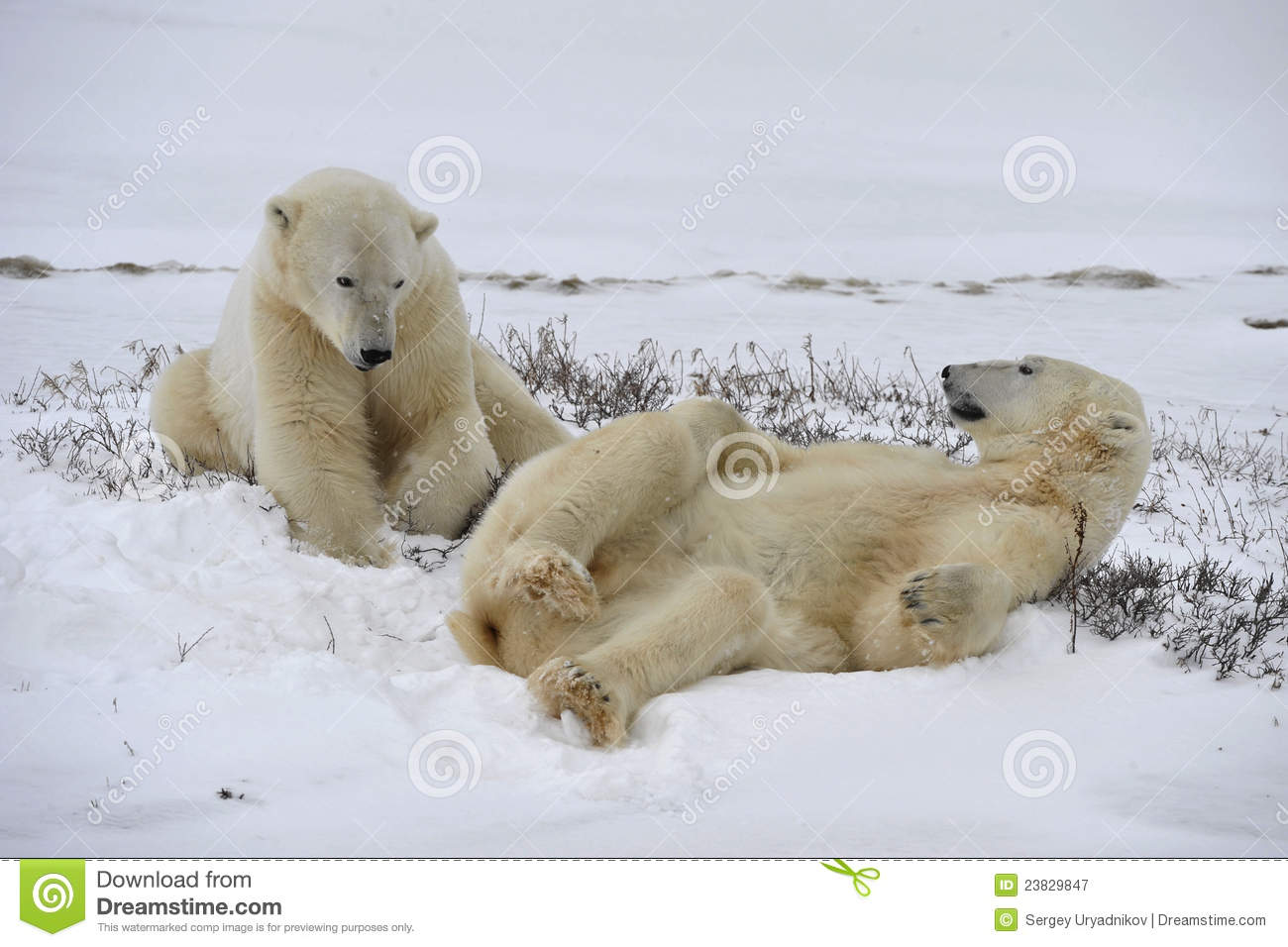 Playfool d ours blancs.