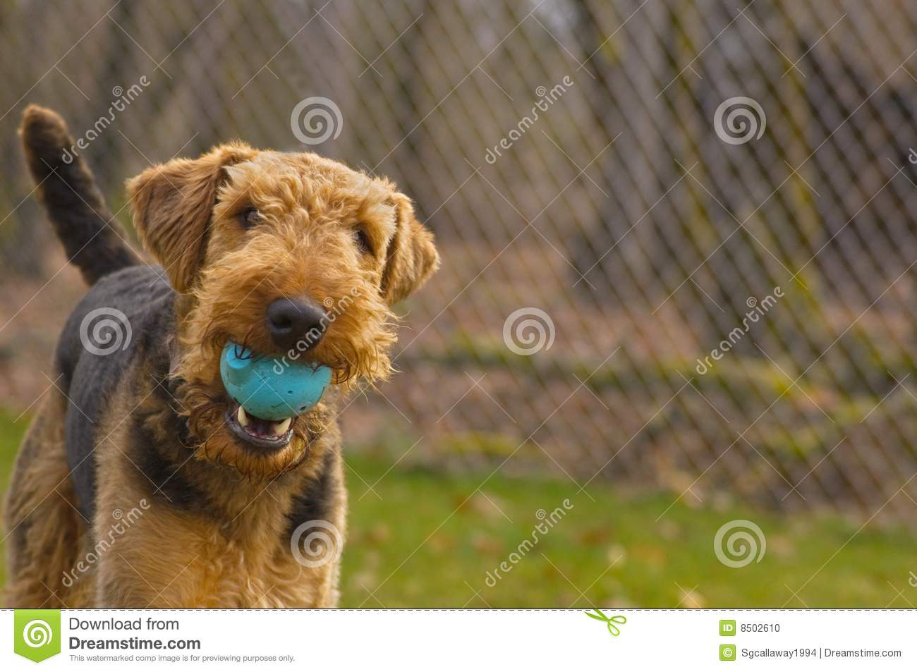 Dog. Airedale. RoyaltyFree Stock Photo  CartoonDealer.com 55825125