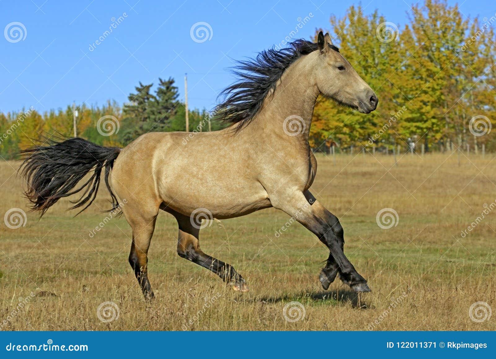 playful buckskin colt running at pasture stock image image of