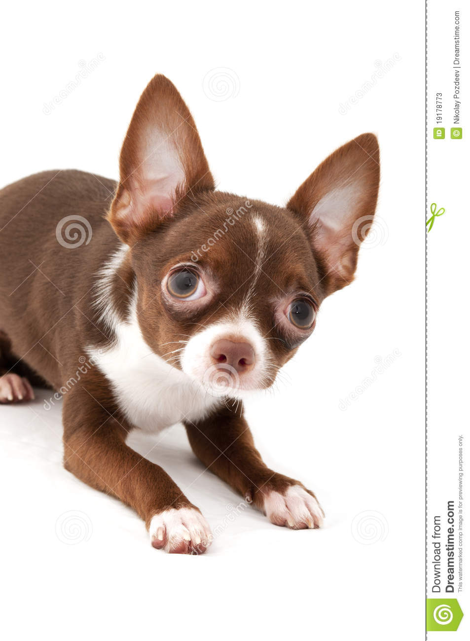 brown and white chihuahua playful chocolate brown with white chihuahua dog stock 3327