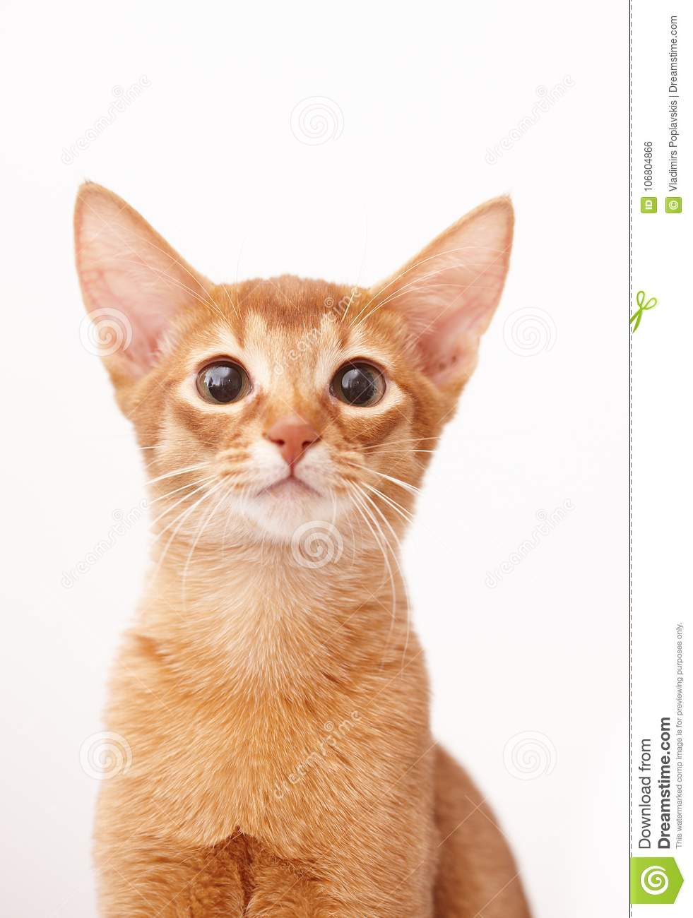 Download Playful Cute Little Red Cat Stock Photo Image Of Domestic Kitten