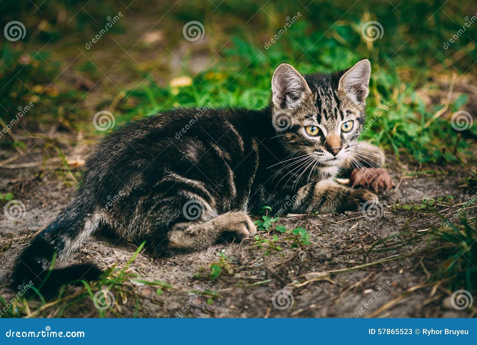 Playful Cute Tabby Gray Cat Kitten Pussycat