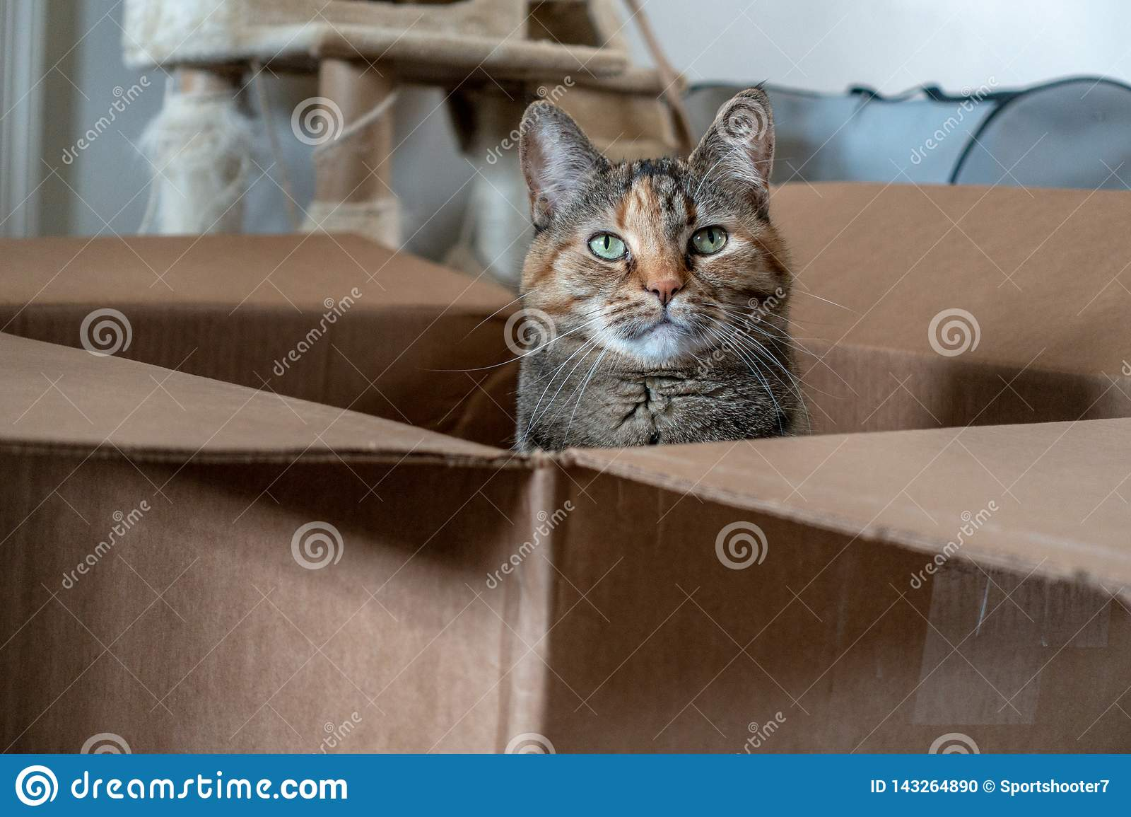 Playful domestic Tortoiseshell cat poses in a brown cardboard box.