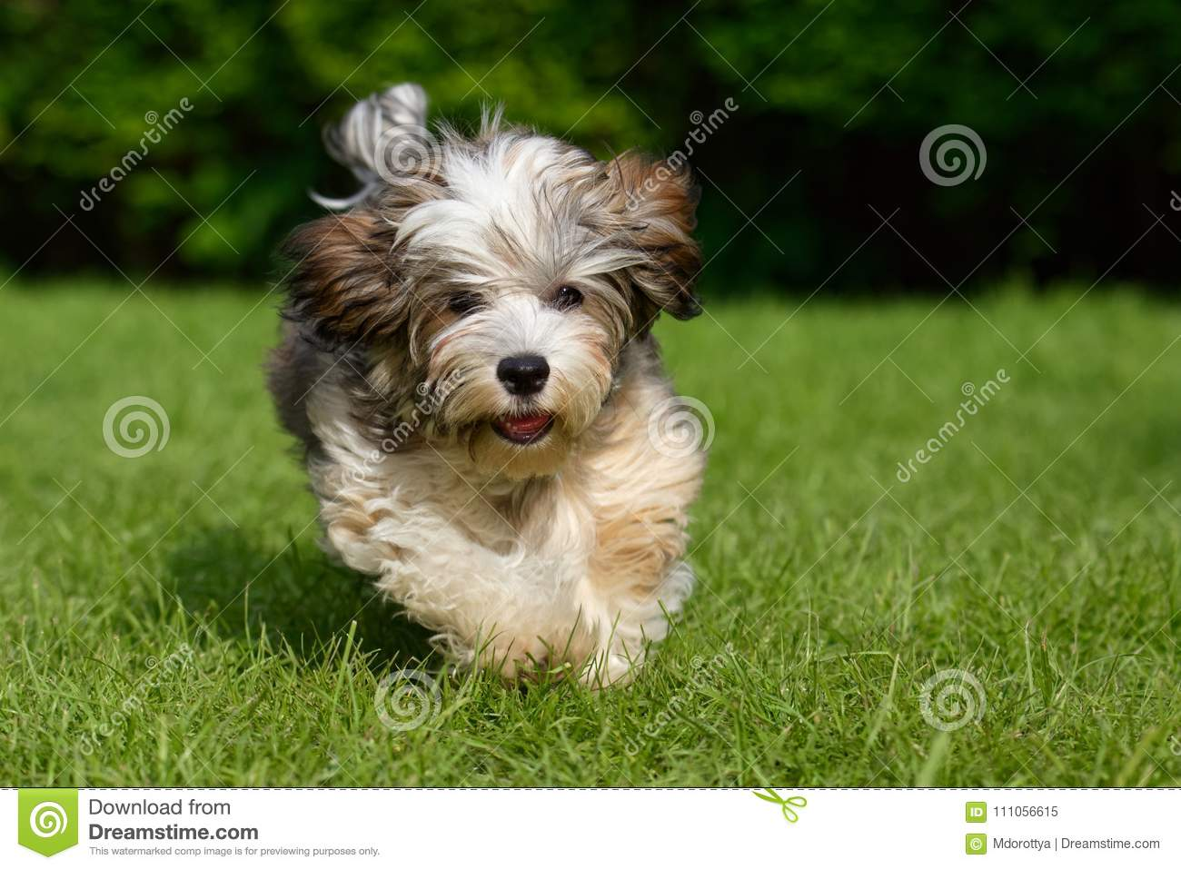 Playful Havanese Puppy Run In The Grass Stock Image Image Of Long