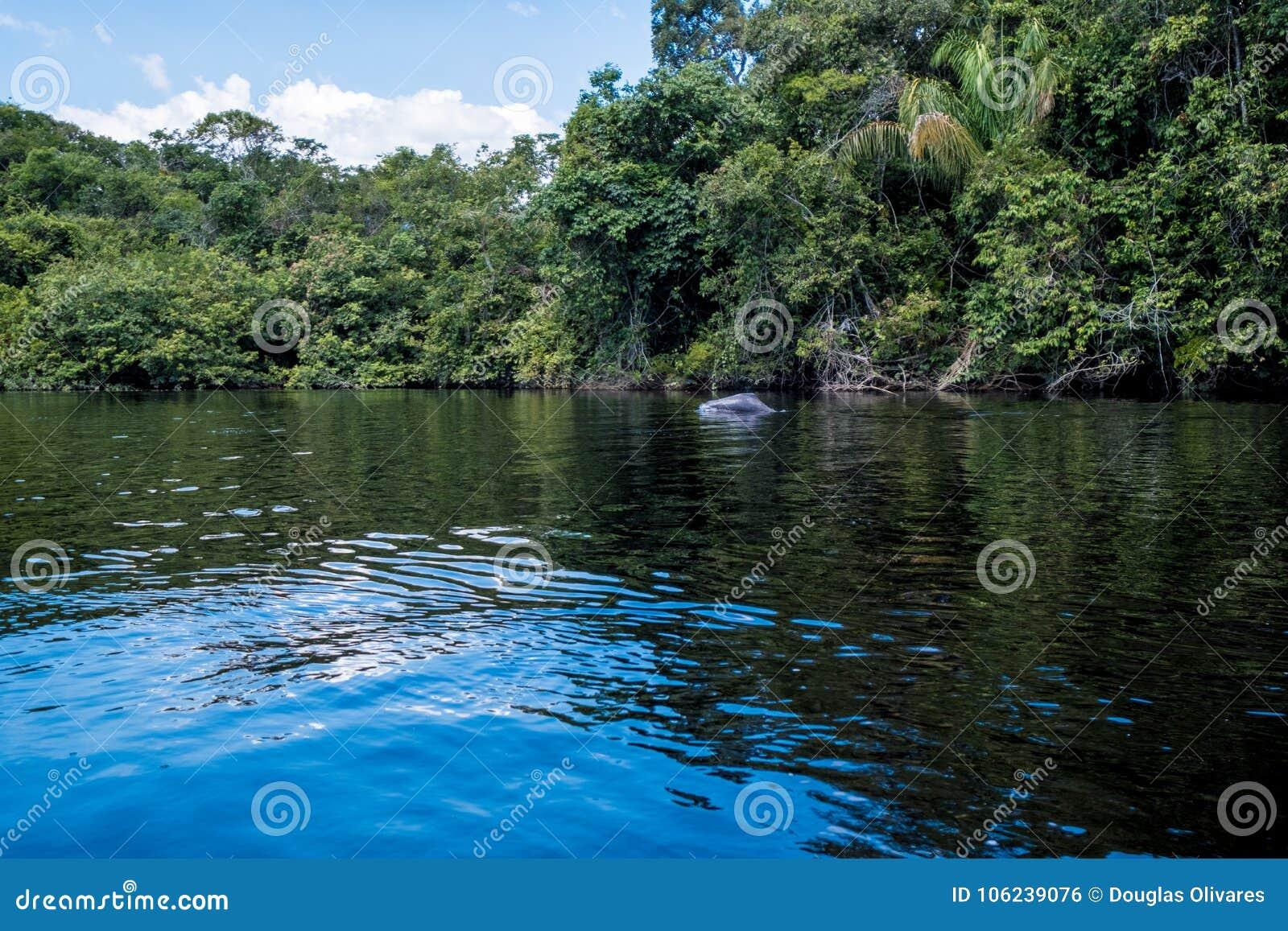 Playful River Dolphin, Amazon Rainforest