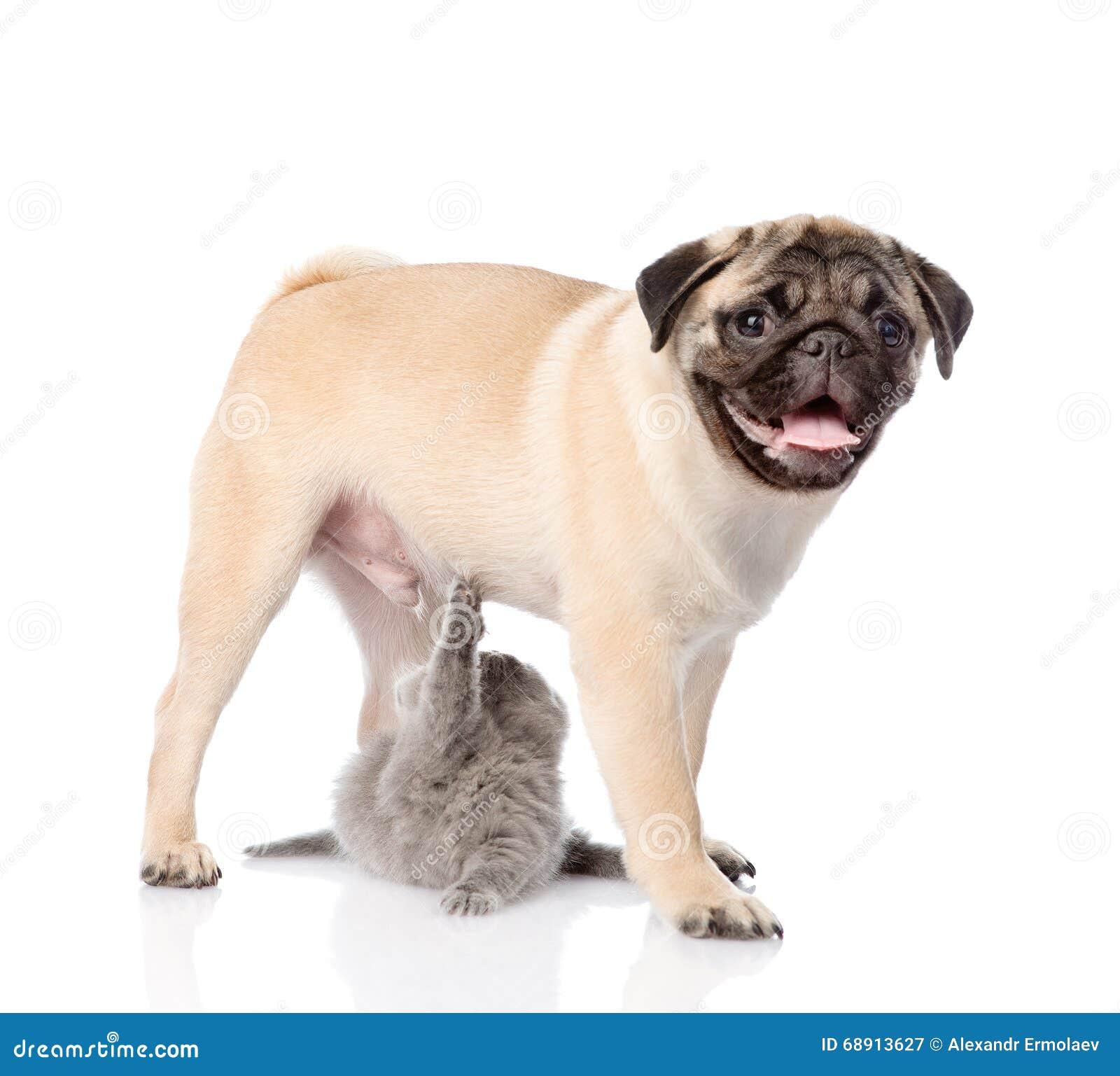Playful Scottish Cat With Pug Puppy Isolated On White Background