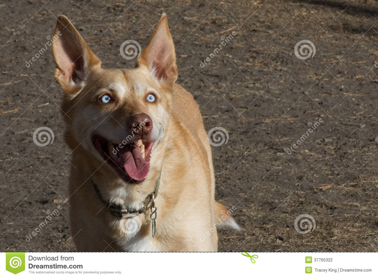 ... Tan Dog With Light Blue Eyes And Big Uprig Stock Photography