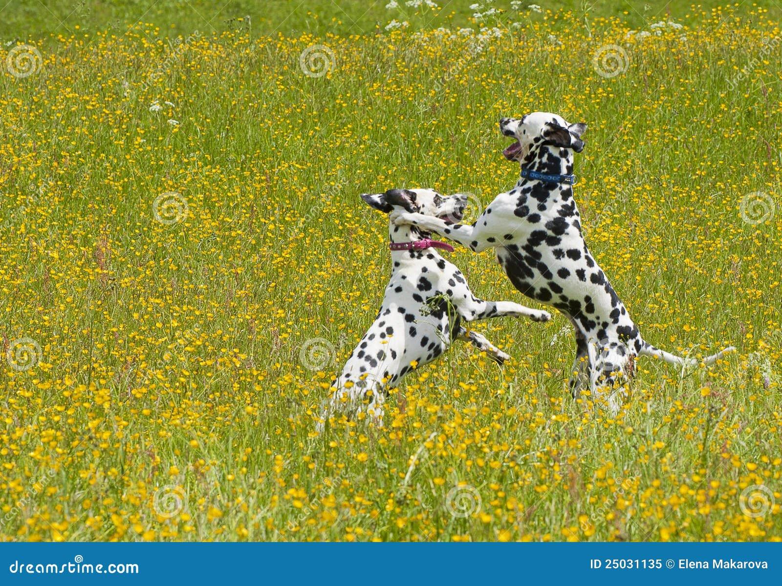 Playing Dalmatians