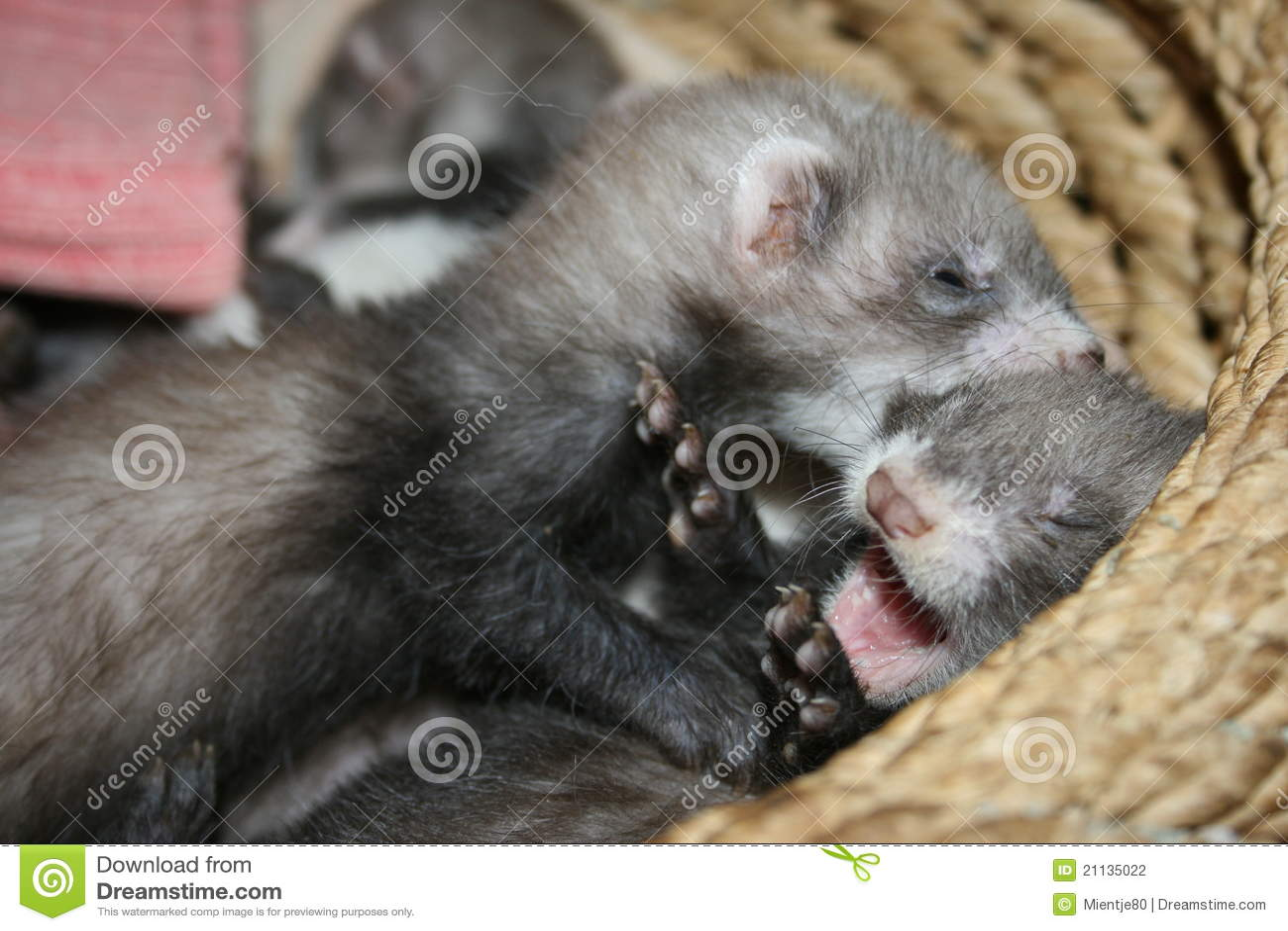 steroid ferret poodle