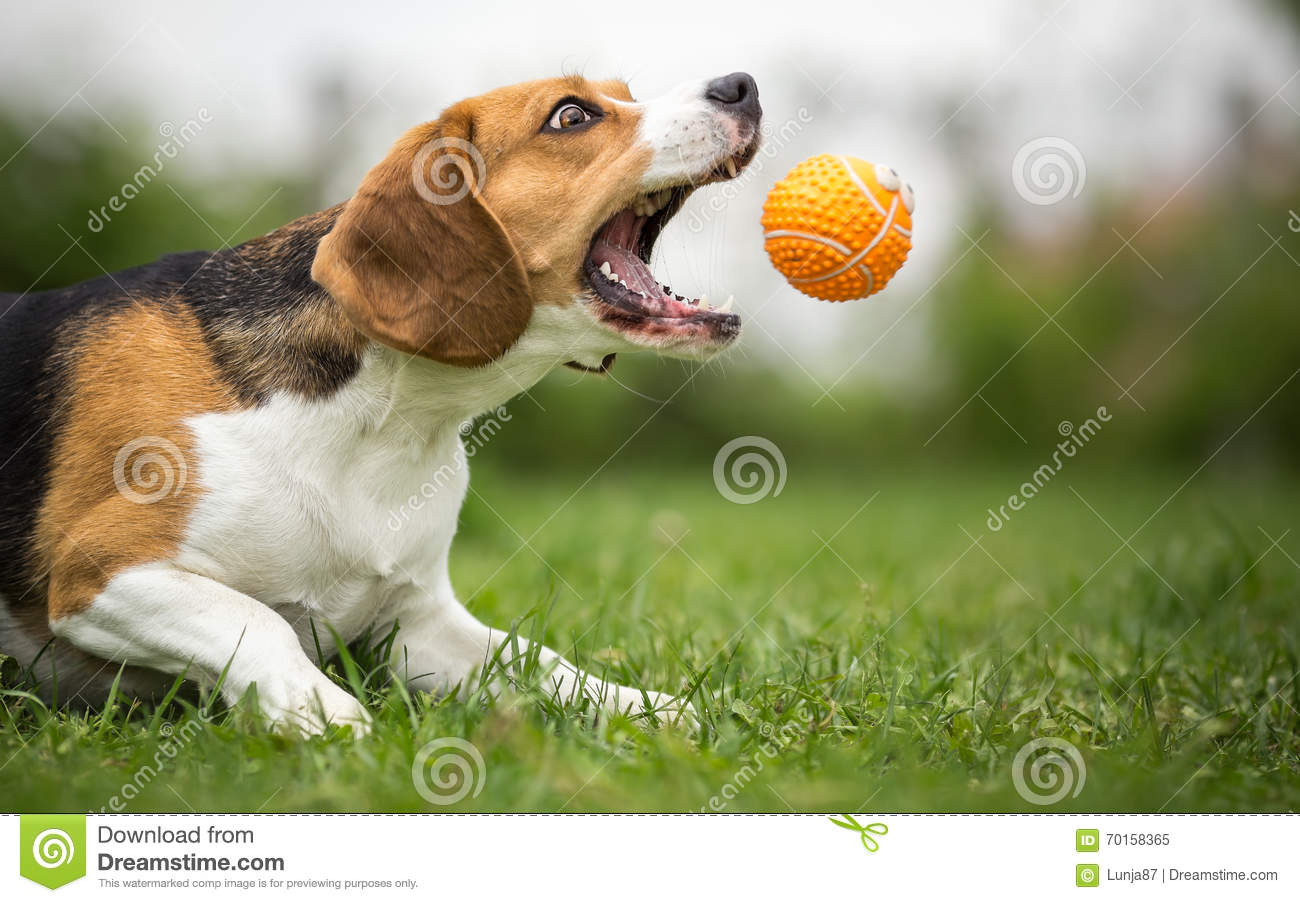 Playing fetch with agile dog